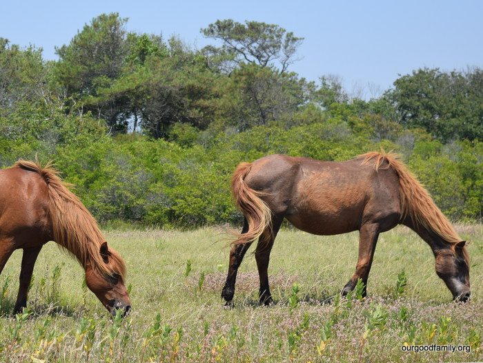 DSC_0200-001Wild Horses of Assateague Island